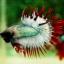 (ขายแล้วครับ)ปลากัดครีบยาวหางมงกุฎ-Crowntails06 thumbnail 6