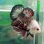 """(ขายแล้วครับ)ตอนรับเทศกาล สงกรานต์ """"คัดเกรด""""ปลากัดครีบสั้น-Halfmoon Plakats thumbnail 5"""