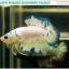 """""""คัดเกรด""""ปลากัดครีบสั้น-Halfmoon Plakats Fancy Marble thumbnail 2"""