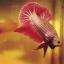 """(ขายแล้วครับ)มังกรแดง""""คัดเกรด""""ปลากัดครีบสั้น-Halfmoon Plakats Red Dragon thumbnail 6"""