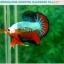 """(ขายแล้วครับ)""""คัดเกรดประกวด""""ปลากัดครีบสั้น-Over Halfmoon Plakats Fancy Dragon Green Orange Monster Quality Grade thumbnail 8"""