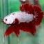 (ขายแล้วครับ)ปลากัดครีบสั้น - Halfmoon Plakats RED DRAGON2 thumbnail 3