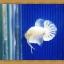 ปลากัดครีบสั้น - Halfmoon Plakats White Dragon thumbnail 2