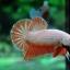 คัดเกรดปลากัดครีบสั้น-Halfmoon Plakad Fancy Orange Dragon Hi Quality Grade thumbnail 4