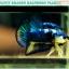 (ขายแล้วครับ)ปลากัดครีบสั้น-Halfmoon Plakat Fancy Blue Dragon Good Grade thumbnail 1