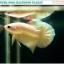 """(ขายแล้วครับ)""""คัดเกรด""""ปลากัดครีบสั้น-Halfmoon Plakats Super Gold thumbnail 3"""