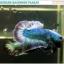 """(ขายแล้วครับ)""""คัดเกรด""""ปลากัดครีบสั้น-Halfmoon Plakats Grizzled thumbnail 4"""