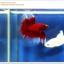 คัดเกรดปลากัดครีบยาว-Halfmoon Red Butterfy Nice Grade thumbnail 4