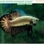 (ขายแล้วครับ)+แถมตัวเมีย+ปลากัดครีบสั้น-Halfmoon Plakat Black Dragon Copper thumbnail 5