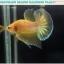 """(ขายแล้วครับ)""""คัดเกรด""""ปลากัดครีบสั้น-Halfmoon Plakats Yellow Gold Dragon 002 thumbnail 2"""