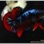 ซามูไร คัดเกรดปลากัดครีบสั้น-Halfmoon Plakat Red - BlackBlue Samurai thumbnail 3