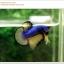คัดเกรดปลากัดครีบสั้น-Halfmoon Plakat Mustrad Quality Grade thumbnail 2