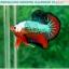 """(ขายแล้วครับ)""""คัดเกรดประกวด""""ปลากัดครีบสั้น-Over Halfmoon Plakats Fancy Dragon Green Orange Monster Quality Grade thumbnail 5"""