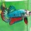 (ขายแล้วครับ)ปลากัดครีบสั้น - Fancy Halfmoon Plakats thumbnail 2