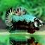 คัดเกรดปลากัดครีบสั้น-Halfmoon Plakad Premuim Quality Grade Fancy Green Colors Full thumbnail 4