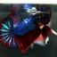 """(ขายแล้วครับ)""""คัดเกรด""""ปลากัดครีบสั้น-Halfmoon Plakats Super Fancy Ghost Devil Grade A thumbnail 14"""
