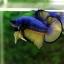 คัดเกรดปลากัดครีบสั้น-Halfmoon Plakat Mustrad Quality Grade thumbnail 1