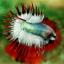 (ขายแล้วครับ)ปลากัดครีบยาวหางมงกุฎ-Crowntails06 thumbnail 2