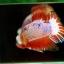 คัดเกรดปลากัดครีบสั้น-Halfmoon Plakat Orange Marble Hi - Quality Grade thumbnail 4