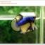 คัดเกรดปลากัดครีบสั้น-Halfmoon Plakat Mustrad Quality Grade thumbnail 3