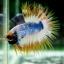 (ขายแล้วครับ)ปลากัดครีบยาวหางมงกุฎ-Crowntails01 thumbnail 2