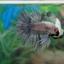 (ขายแล้วครับ)ตอนรับเทศกาล สงกรานต์ ปลากัดครีบยาวหางมงกุฏ-Crowntails Fancy thumbnail 5