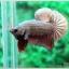 คัดเกรดปลากัดครีบสั้น-Halfmoon Plakad Fancy Copper thumbnail 2