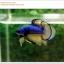 คัดเกรดปลากัดครีบสั้น-Halfmoon Plakat Mustrad Quality Grade thumbnail 4