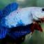 """(ขายแล้วครับ)""""คัดเกรด""""ปลากัดครีบสั้น-Halfmoon Plakats Fancy Dragon Blue thumbnail 5"""
