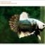 คัดเกรดปลากัดครีบสั้น-Hi- Quality Halfmoon Plakat Copper Quality Grade thumbnail 2
