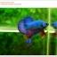 คัดเกรดปลากัดครีบสั้น-Halfmoon Plakat Fancy Green Dragon thumbnail 3