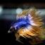 เพศผู้ปลากัดครีบยาว หางมงกุฏ ลายธงชาติ - Male CrownTails Premium Quality Grade thumbnail 7