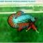 """(ขายแล้วครับ)""""คัดเกรดประกวด""""ปลากัดครีบสั้น-Over Halfmoon Plakats Fancy Dragon Green Orange Quality Grade thumbnail 6"""