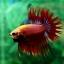 (ขายแล้วครับ)ปลากัดครีบยาวหางมงกุฎ-Crowntails Red thumbnail 5