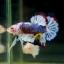 """(ขายแล้วครับ)""""คัดเกรด""""ปลากัดครีบสั้น-Halfmoon Plakats Super Fancy Grade AAA (ปลาประกวด) thumbnail 3"""