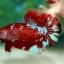 พิเศษโปรโมชั่นปลากัดคัดเกรดครีบสั้น - Halfmoon Plakad Fancy Dragon Quality Grade thumbnail 5