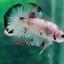 """(ขายแล้วครับ)""""คัดเกรด""""ปลากัดครีบสั้น-Halfmoon Plakats Fancy Koi Red Mark thumbnail 2"""