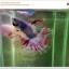 คัดเกรดปลากัดครีบยาว-Halfmoon Fancy thumbnail 4