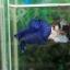 """(ขายแล้วครับ)""""คัดเกรด""""ปลากัดครีบสั้น-Halfmoon Plakats Super Fancy Blue thumbnail 2"""