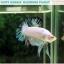 """(ขายแล้วครับ)""""คัดเกรด""""ปลากัดครีบสั้น-Halfmoon Plakats Fancy Marble Quality Grade thumbnail 5"""