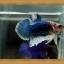 *ปลาเกรดพิเศษ* ปลากัดครีบสั้น - Halfmoon Plakats thumbnail 3