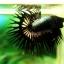(ขายแล้วครับ)ปลากัดครีบยาวหางมงกุฎ-Crowntails Black Copper Quality Grade thumbnail 5