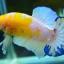 คัดเกรดปลากัดครีบสั้น-Halfmoon Plakad Fancy Dragon Yellow Body Hi Quality Grade thumbnail 5