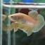 (ขายแล้วครับ)ปลากัดครีบสั้น - Halfmoon Plakats Yellow Fancy#1 thumbnail 3