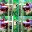 (ขายแล้วครับ)ปลากัดครีบยาวหางมงกุฏ-Crowntails Fancy thumbnail 1