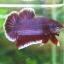 """(ขายแล้วครับ)""""คัดเกรด""""ปลากัดครีบสั้น-Halfmoon Plakats Lavender thumbnail 3"""