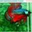 """(ขายแล้วครับ)""""คัดเกรดประกวด""""ปลากัดครีบสั้น-Over Halfmoon Plakats Fancy Dragon Green Red Quality Grade thumbnail 6"""