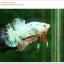 คัดเกรดปลากัดครีบสั้น-Halfmoon Plakat Fancy Dragon thumbnail 3