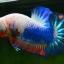 คัดเกรดปลากัดครีบสั้น-Halfmoon Plakad Fancy Dragon Qaulity Grade thumbnail 3