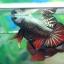 """(ขายแล้วครับ)""""คัดเกรด""""ปลากัดครีบสั้น-Halfmoon Plakats Red Copper thumbnail 6"""